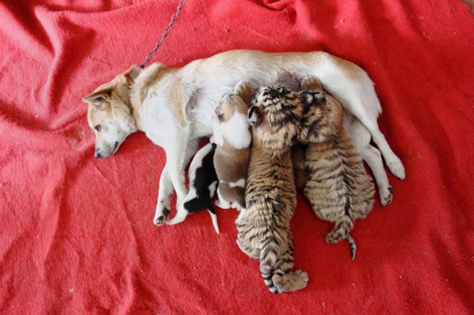 Estos dos cachorros de tigre de Siberia compiten por la leche con dos cachorros en el Wild Animal World en Hangzhou, provincia oriental china de Zhejiang. El personal de la instalación alimenta a los tigres con la leche de esta perra, después que la madre de los pequeños los abandonara tras dar a luz en noviembre mientras que la perra los ha adoptado con amor. (Foto: AFP)