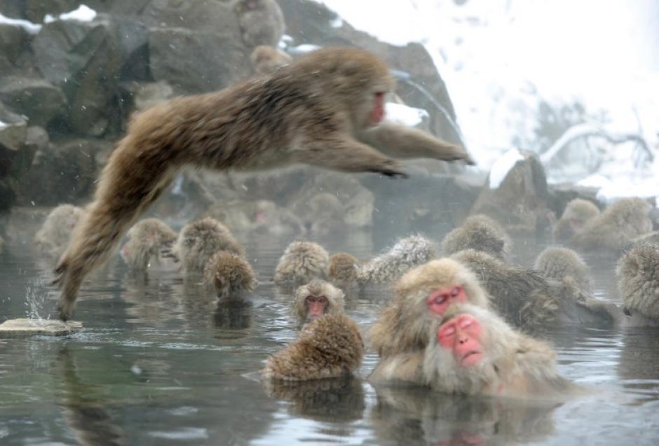 Los Macacos japoneses o monos de nieve han aprendido a sumergirse en las aguas termales para poder combatir las fuertes temperaturas bajo cero a las que están sometidos y así poder mantener el calor para poder sobrevivir.El Jigokudani Yaen-Koen Monkey Park, en el centro de Japón, es ahora el hogar de unos 200 macacos y cuenta con sus propios saltos de agua y cornisas. Foto AFP