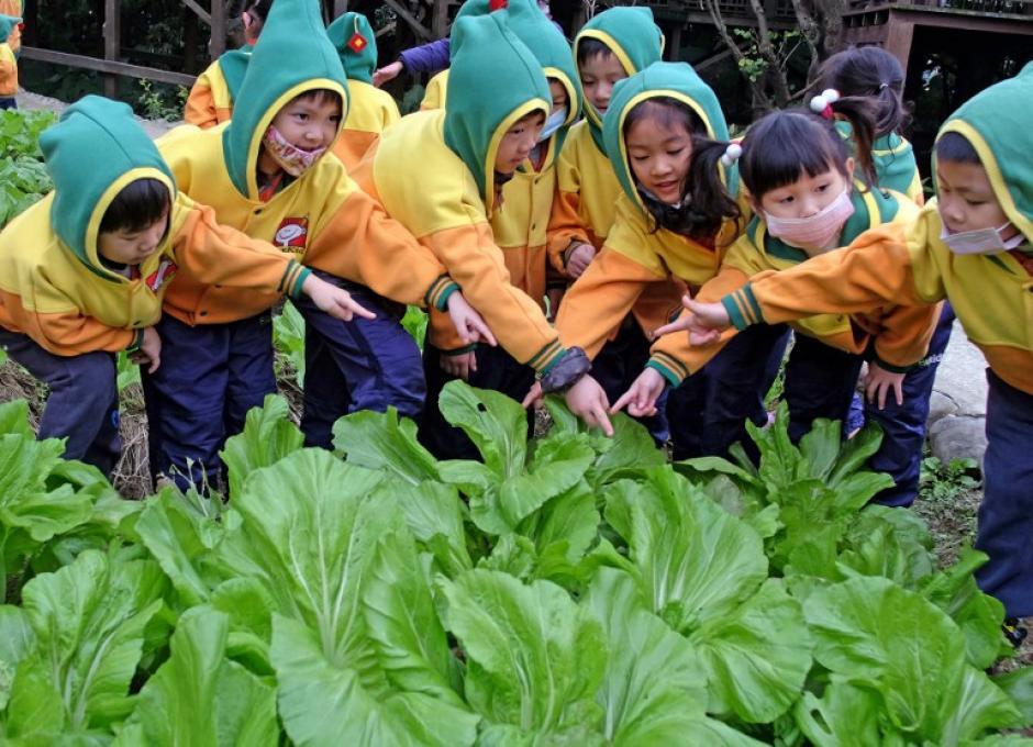 El cultivo del repollo propio de las condiciones de vida de los hakkas que habitan en regiones de Taiwan, son tradición del nuevo año chino. La cosecha y la manera ritual en que se siembran se convierte en una atracción para los escolares. Foto AFP