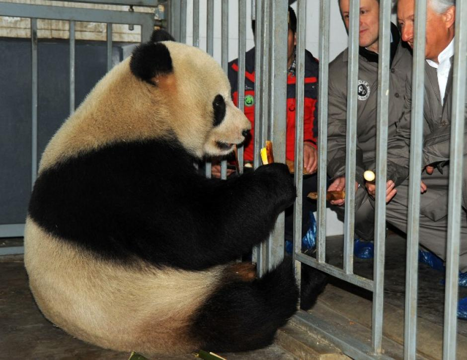 Hao Hao es la otra cría de 4 años que recibió Bruselas. (Foto: AFP)