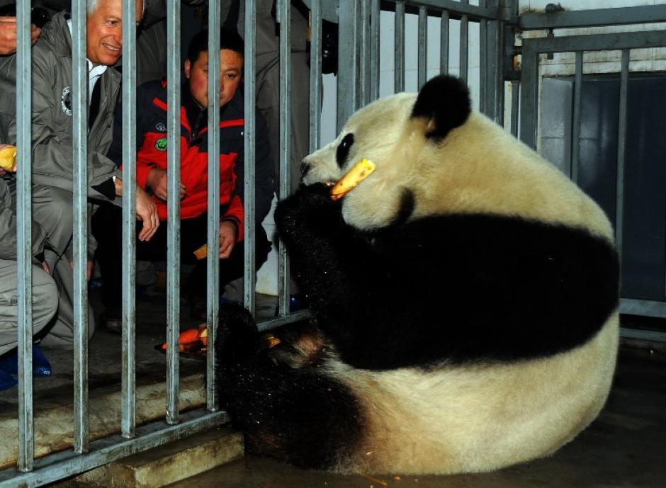 Este es el oso panda Xing Hui que fue uno de los dos pandas que llegaron a Bruselas. (Foto: AFP)