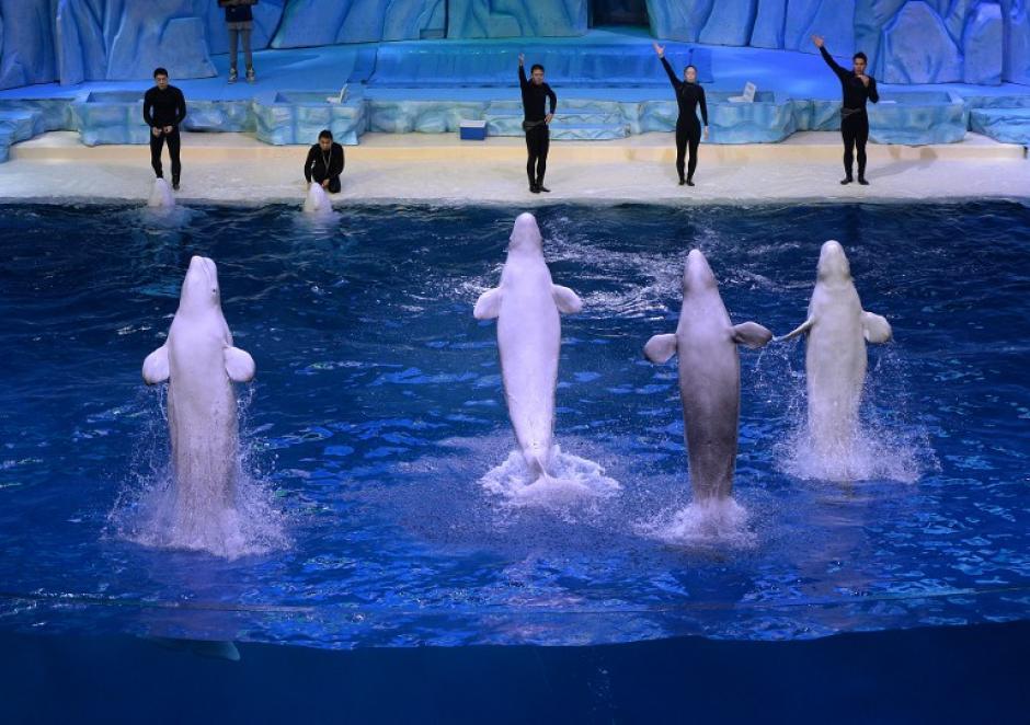 Es el más grande del mundo, y cubre un área de 132 hectáreas. También alberga 10 tiburones ballena, así como delfines manchados tropicales y delfines blancos chinos. (Foto: AFP)