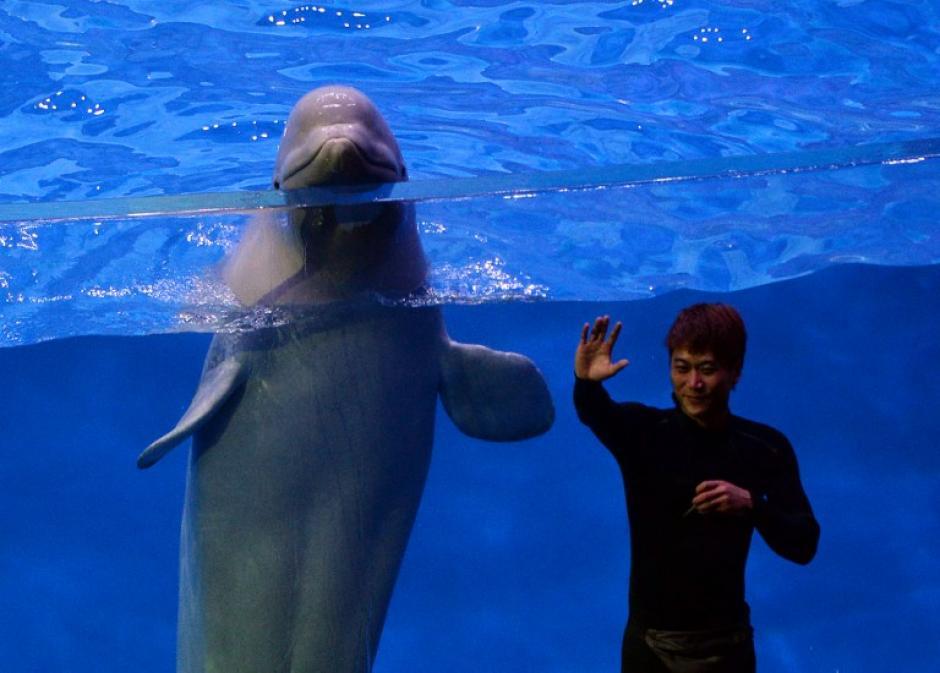Los delfines amaestrados es una de las atracciones principales. (Foto: AFP)