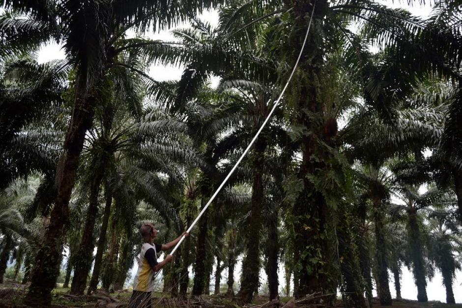 Un trabajador de cultivos de fruto de aceite de palma realiza labores en una plantación en el distrito de Langkat en isla de Sumatra de Indonesia. Este cultivo está en pleno auge en el Sudeste de Asia industria que ahora se enfrenta a una crisis por recientes sequías por el fenómeno El Niño. (Foto: AFP)