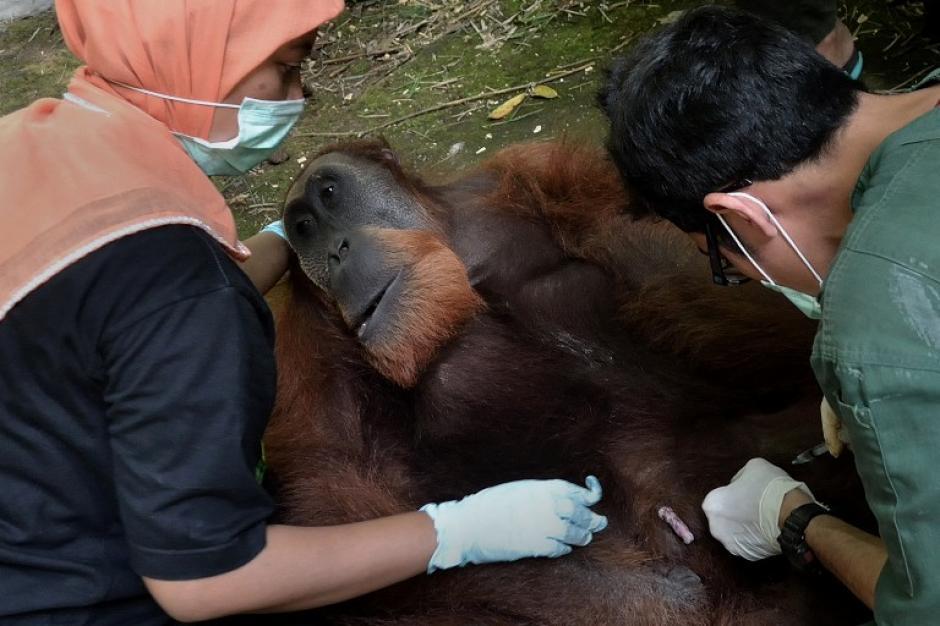 Un orangután de Sumatra se preparan para la reintroducción en la selva del distrito Jantho de la provincia de Aceh, una de las sedes de los orangutanes rescatados de las plantaciones de aceite de palma. La población de primates esta en peligro crítico, están disminuyendo rápidamente debido a la caza furtiva y la destrucción rápida de su hábitat forestal que se está convirtiendo en plantaciones de aceite de palma. (Foto: Sutanta Aditya/AFP)