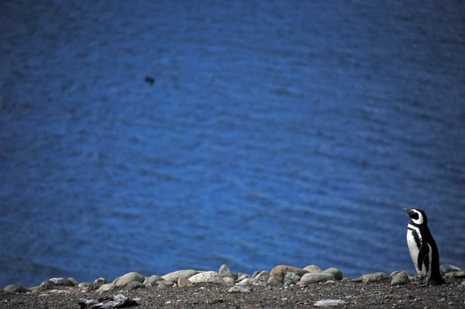 Pingüinos en peligro. Este es un pingüino de Magallanes en la isla de Magdalena, a 50 kilómetros de Punta Arenas, Chile. Esta especie de pingüinos está siendo amenazada por los ataques de gaviotas a sus huevos y crías, en la foto del día tomada por Vanderlei Almeida de AFP.