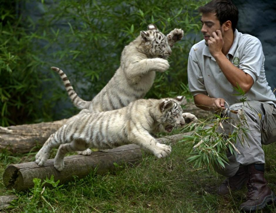 Dos cachorros de tres meses de tigres de Bengala Blanco, juegan con su cuidador en el Zoológico de Buenos Aires. Cloe, la tigre de Bengala Blanco, dio a luz a tres cachorros, dos machos y una hembra. La foto del 20 de abril fue tomada por Juan Mabromata de AFP.