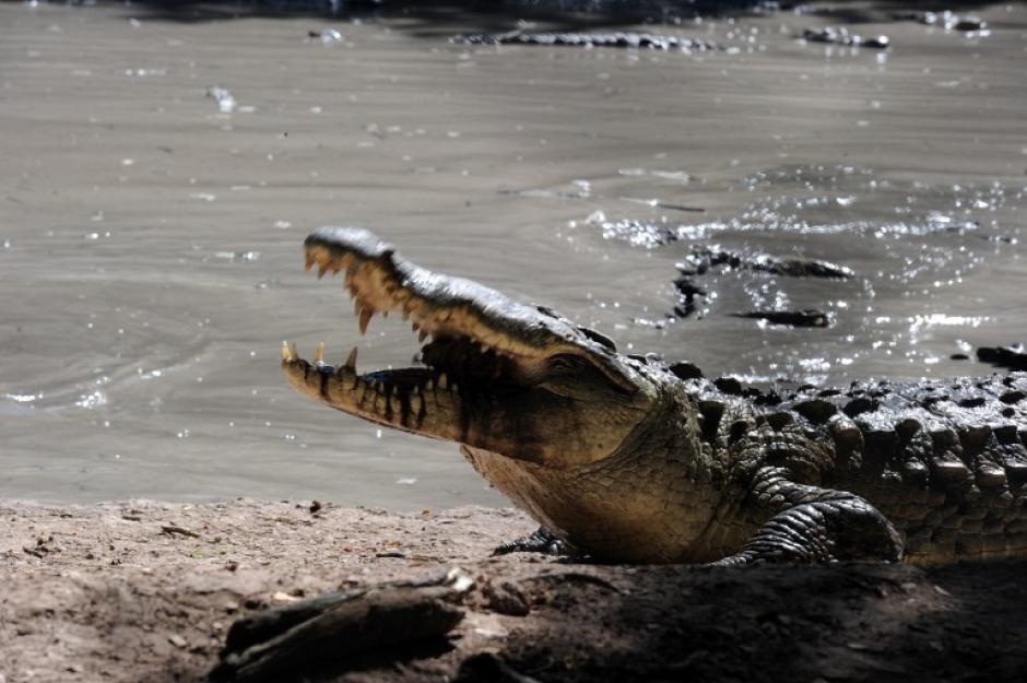 Según empleados del criadero, cada cocodrilo se come alrededor de medio caballo al día. (Foto: AFP)