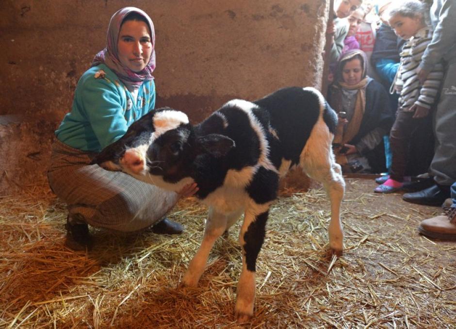 Este ternero, con dos cabezas, nació en Año Nuevo, en Marruecos, fue bautizado como Sana Saida. (Foto: AFP)