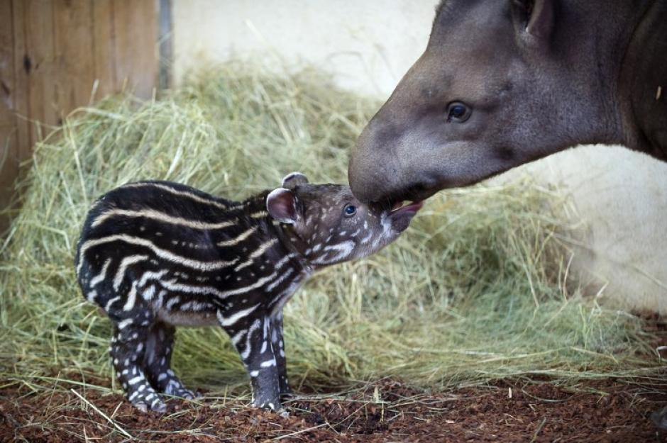 Un tapir macho nacido hace una semana, se encuentra junto a su madre en el Zooparc de Beauval en Saint-Aignan, en el centro de Francia, esta es la foto del 21 de noviembre tomada por el fotógrafo de AFP Guillaume Souvant.