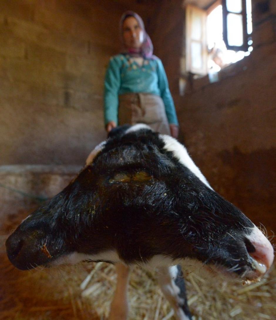 La comunidad de Fez ha visto con asombro el nacimiento de un ternero con dos cabezas. (Foto: AFP)