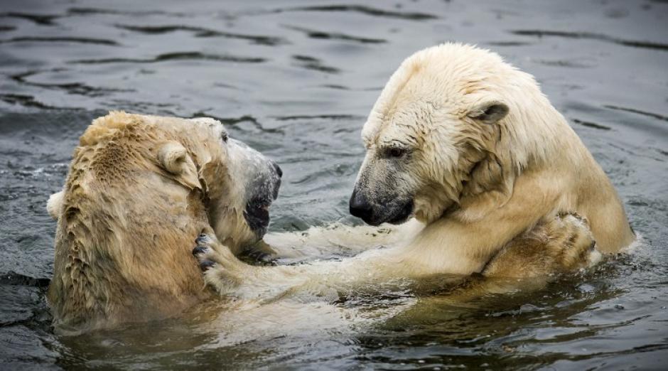 Los dos osos se reunieron después de estar tres años separados y las muestras de afecto fueron evidentes. (Foto: AFP)
