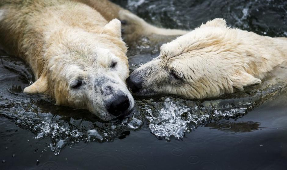 Los osos polares Libertad y Viktor abrazados, en el zoológico de Ouwehands en Rhenen. (Foto: AFP)
