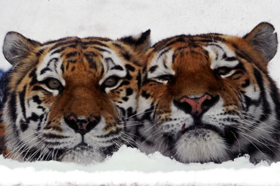 Los tigres Amur no tienen problemas para vivir con las bajas temperaturas que se experimentan en Rusia. Son de los pocas especies que pueden estar al aire libre bajo heladas extremas. Los ancestros de estos tigres son originarios de Siberia. Foto AFP