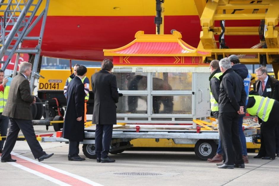 Así fueron entregados los pandas en el aeropuerto de Bruselas. (Foto: AFP)