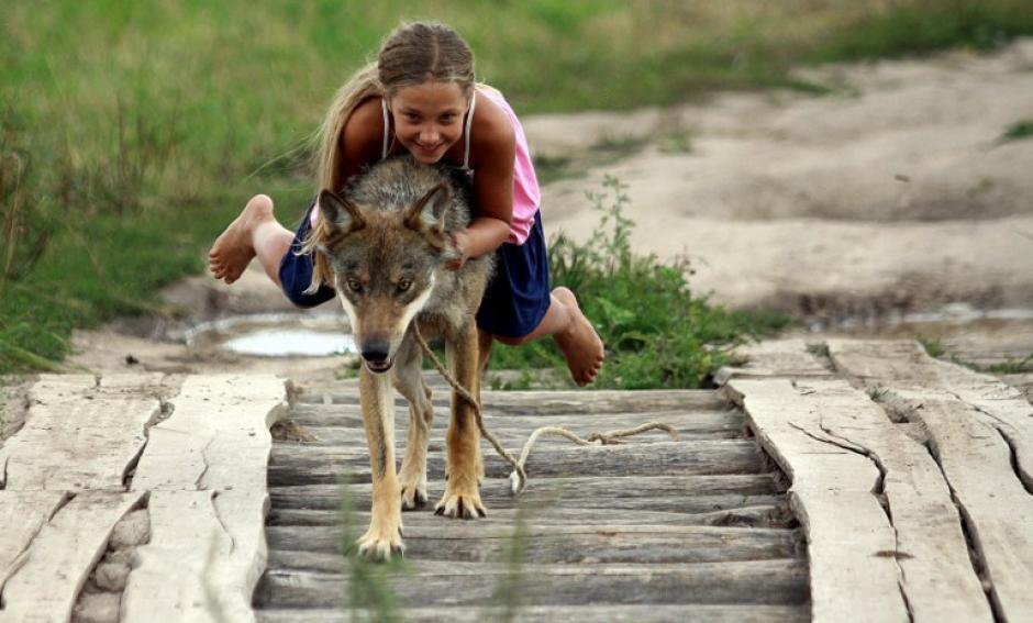 Alisa con 10 años, juega con un lobo domesticado en la villa de Zacherevye, Bielorrusia. La familia de la niña adoptó una camada de cinco lobos años atrás para domesticarlos. (Foto: Sergei Gapon/AFP)