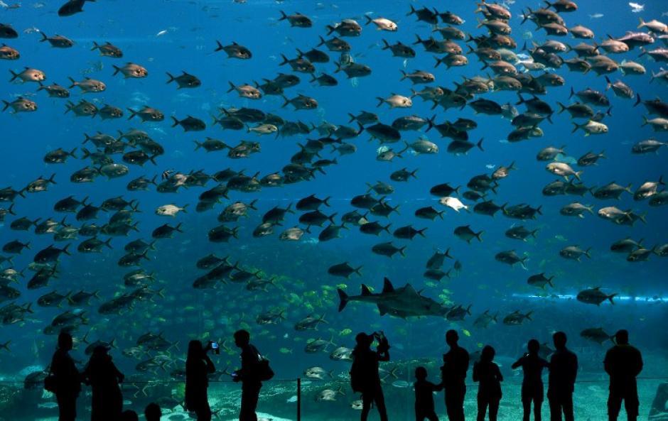 Además de ser reconocido como el acuario más grande de la Tierra, Ocean Kingdom también ha establecido récords por tener la cúpula de visión más grande del mundo submarino, con un panel de acrílico que mide 39.319 metros por 8.2296 metros. (Foto: AFP)