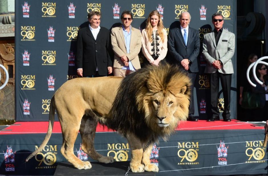 """""""Leo"""" es el nombre del león insignia de la compañía de cine Metro Goldwyn Mayer. El rugido y la imagen de Leo es la entradilla oficial de todos los filmes de la MGM. Foto AFP"""