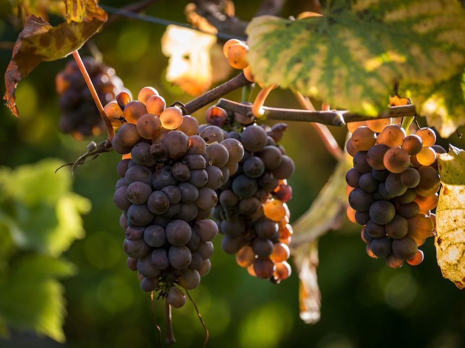 Estos especialistas han advertido que el efecto curativo no se obtiene al aumentar el consumo de naranjas y uvas rojas. (Foto: Flickr)