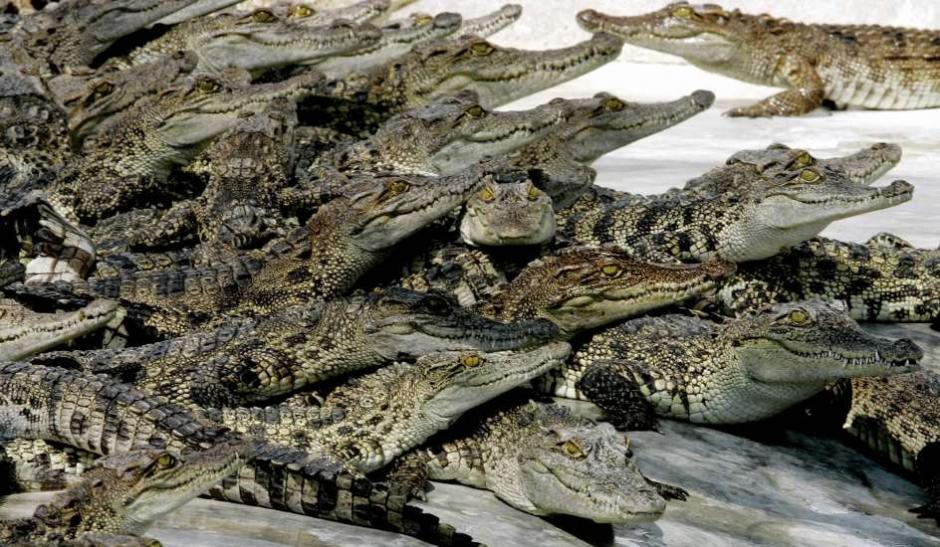 Los guardias dicen que un cocodrilo puede comerse hasta medio caballo en un día. (Foto: 20 minutos)