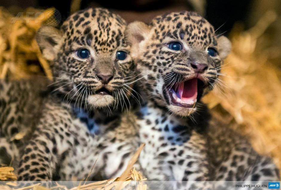 Dos cachorros de leopardo provenientes de Sri Lanka se sientan en su jaula en un zoológico en el norte de Francia. (Foto: AFP)