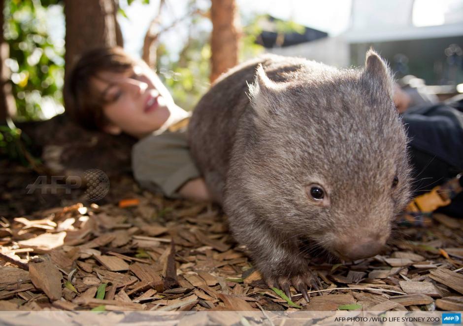 Este vigilante del Zoológico de Sydney muestra a un wombat bebé, una especie que sólo habita en Australia, durante su primera aparición pública. El wombat, llamado Ringo, fue encontrado huérfano y ha sido atendido por el vigilante durante las últimas tres semanas. (Foto: AFP)