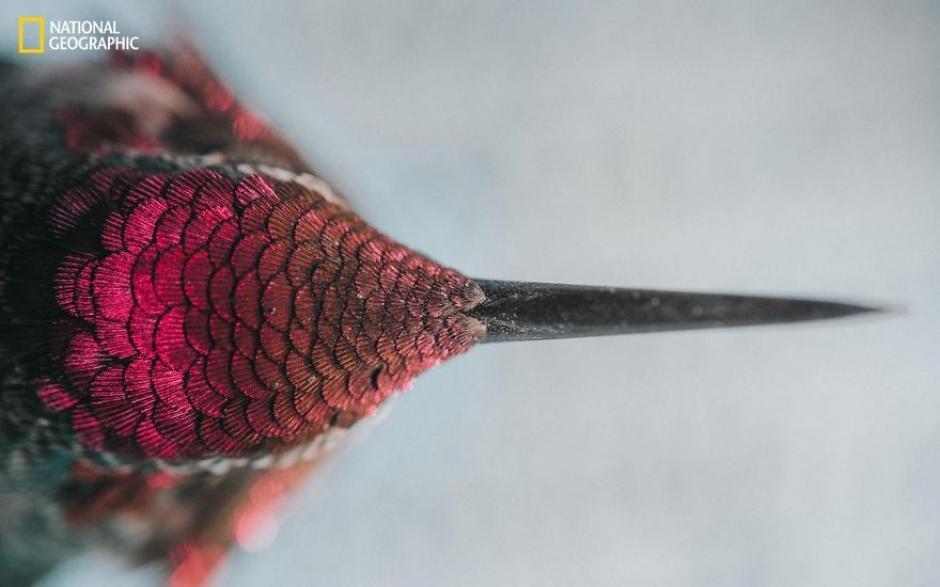 Retrato de un bebé colibrí captado mientras se recuperaba luego de buscar alimento. (Foto: Emily Riley/National Geographic)
