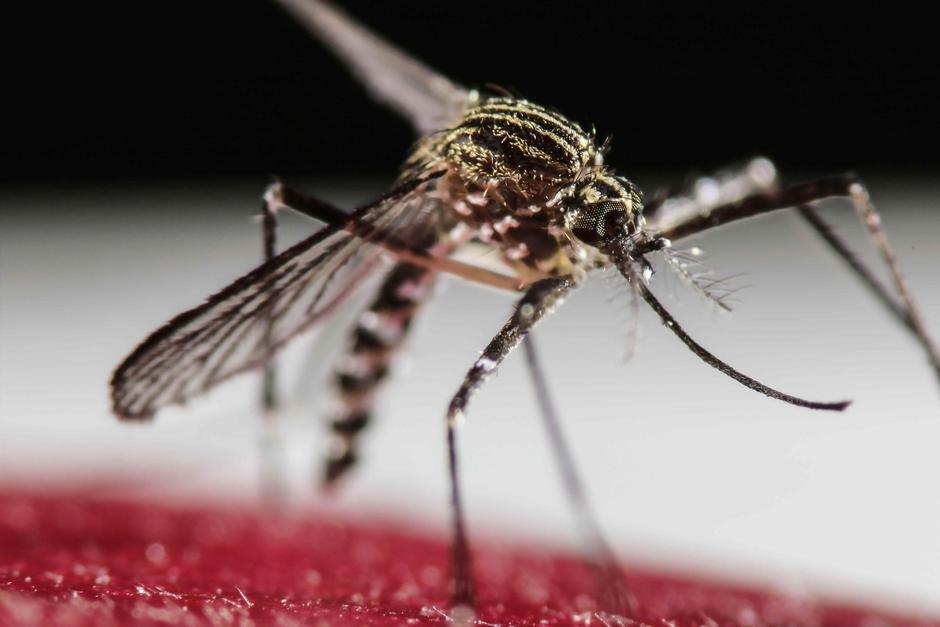Este es el mosquito responsable de la transmisión del virus del Zika. (Foto: Archivo/Soy502)