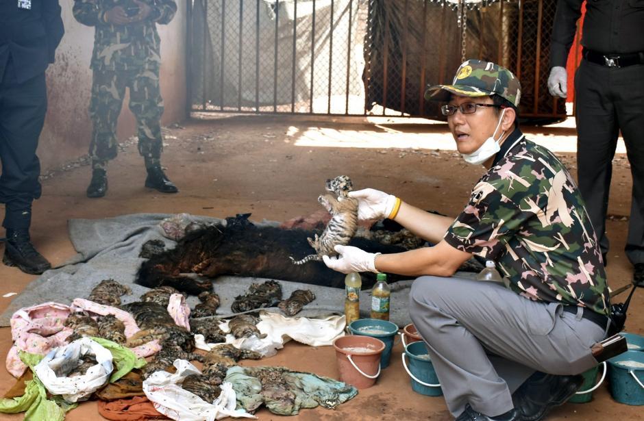 Un trabajador del departamento de Fauna tailandés muestra el cadáver de una cría de tigre durante el registro al Templo del Tigre en la provincia de Kanchanaburi, Tailandia. (Foto: EFE)