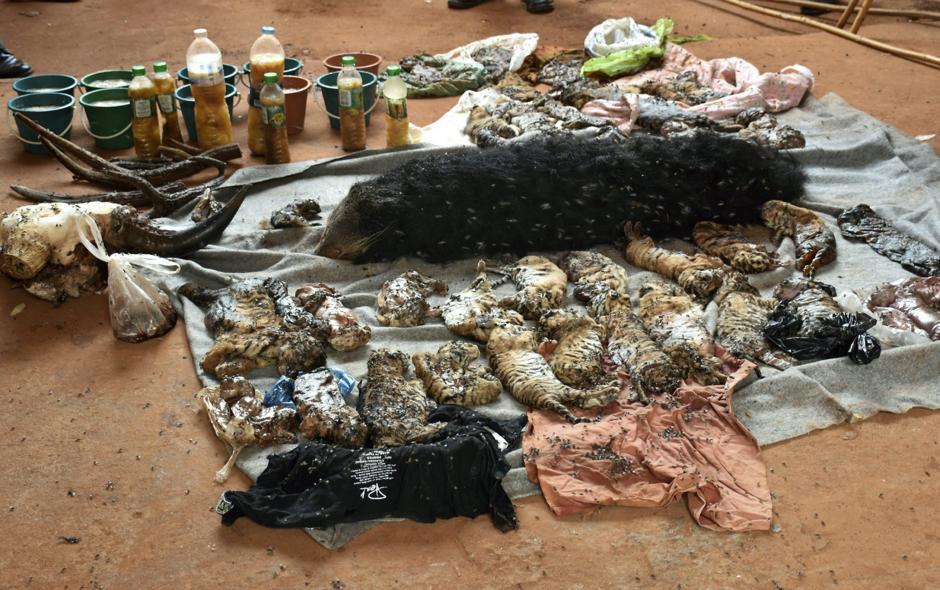 Los cadáveres de varias crías de tigre durante el registro al Templo del Tigre en la provincia de Kanchanaburi, Tailandia. (Foto: EFE)