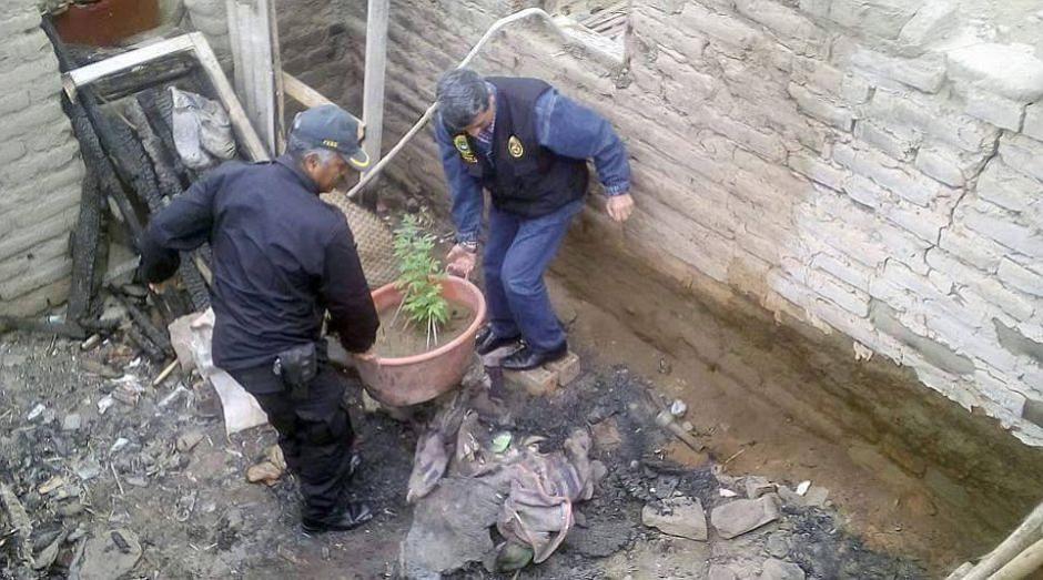 Las matas de marihuana fueron incautadas por la policía. (Foto: trome.pe)