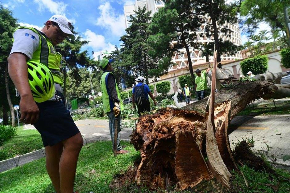 Se desconoce cuál fue la causa del desplome, se considera que pudo deberse a la edad del árbol. (Foto Wilder López/Soy502)