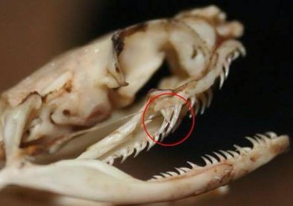 Estos reptiles tienen hasta 100 dientes como lo muestra la fotografía. (Foto: Rescate Antigua Exotic)