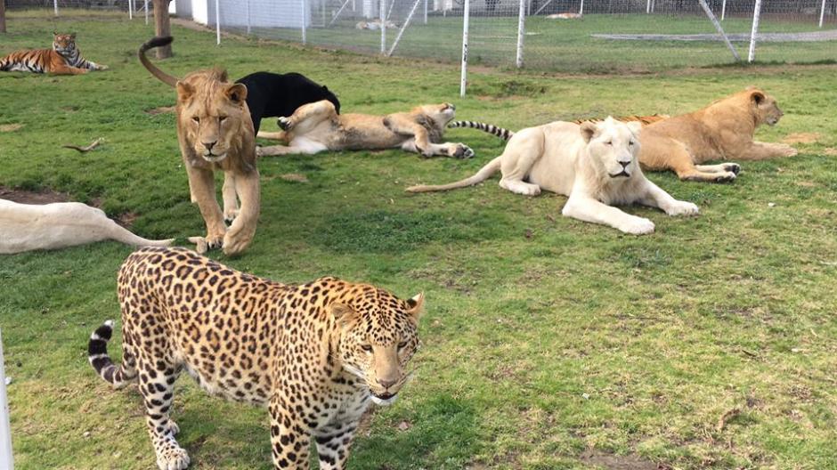 Los felinos llegan ahí tras pasar malos tratos. (Foto: Facebook)