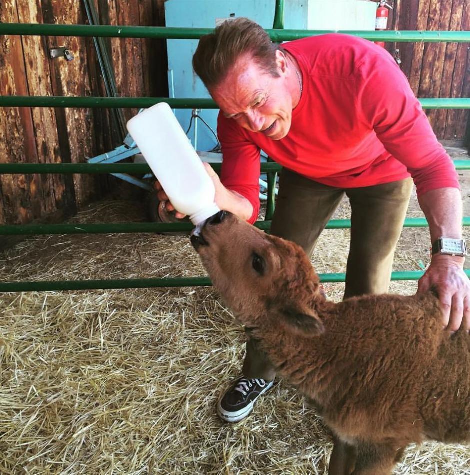 En la foto, Schwarzenegger alimenta a un búfalo bebé. (Foto: Facebook Arnold Schwarzenegger)