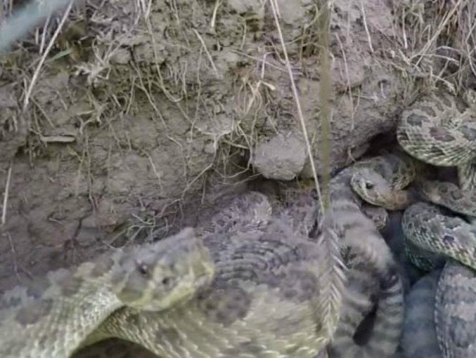 GoPro nido de cascabel  foto