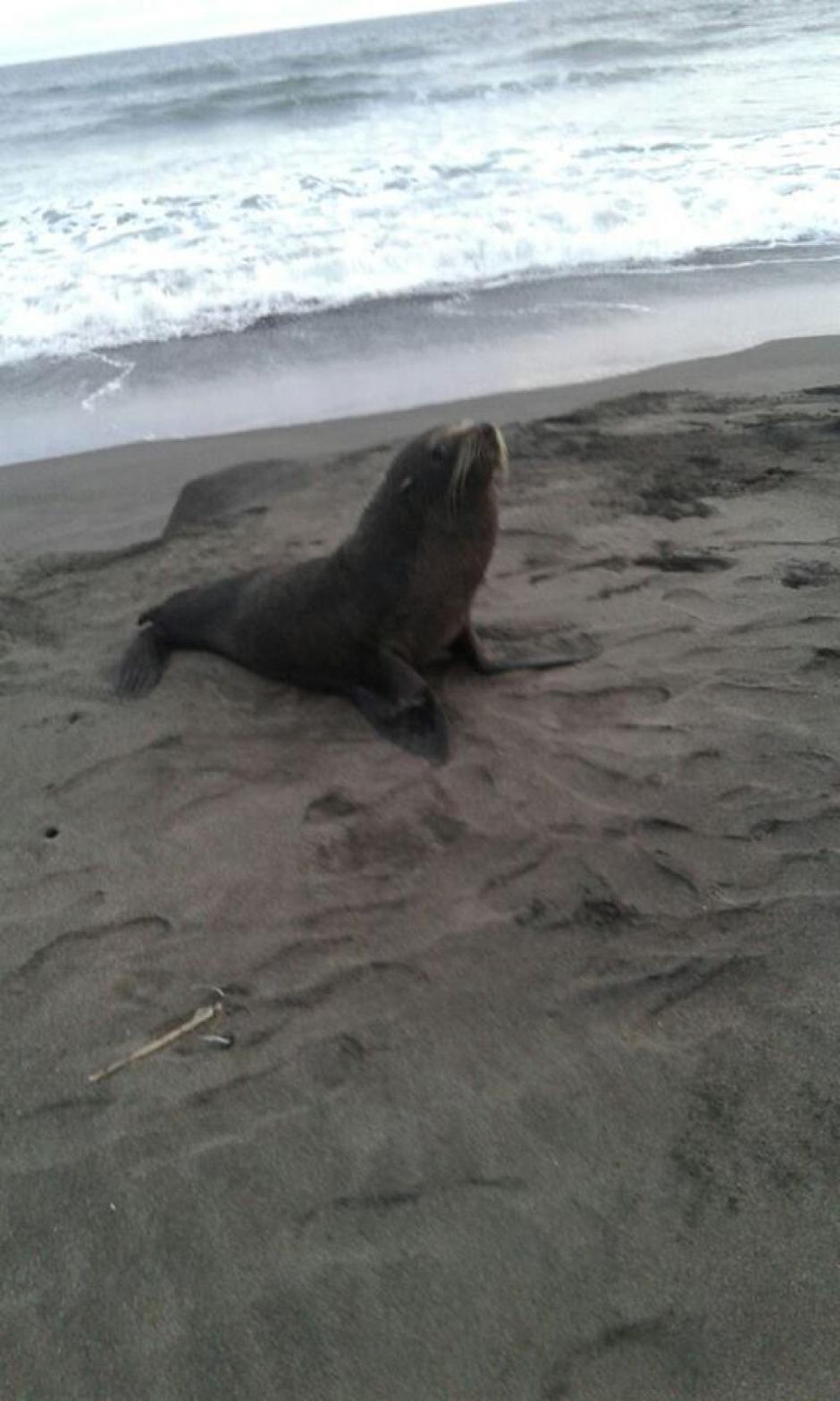 Luego de recuperar al animal, el CONAP lo liberará en aguas abiertas. (Foto: Compra Ganado Guatemala/Facebook)