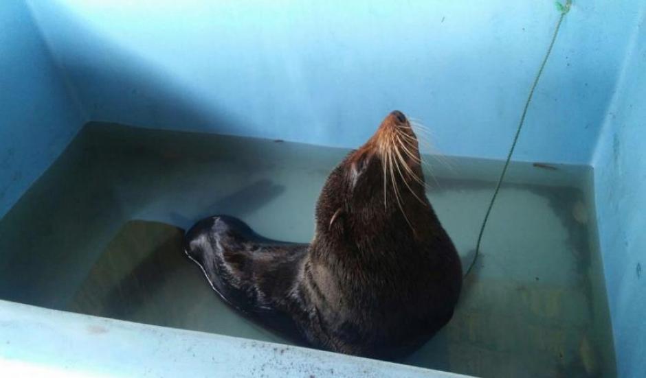 El CONAP considera que es la primera vez que un lobo marino llega a Guatemala. (Foto: CONAP)