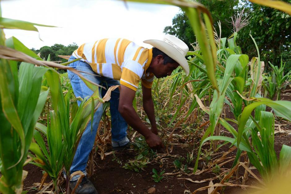 En el país existen cerca de 13 variedades de maíz, la mayoría de éstas se encuentran en occidente y el norte de Guatemala. (Foto: Archivo/Soy502)