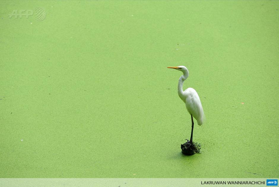 Una garza bueyera permanece apacible en un lago en el zoológico de Dehiwala, cerca de Colombo, en Sri Lanka. Este lugar tiene una rica avifauna con aproximadamente 433 especies registradas. (Foto:AFP/Lakruwan Wanniarachchi)