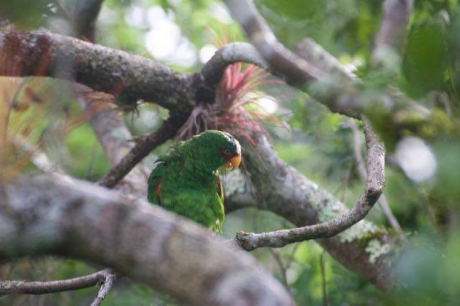 Cerca de dos años tomó el proceso de rehabilitación y liberación de las aves. (Foto: Francisco Asturias/Arcas)