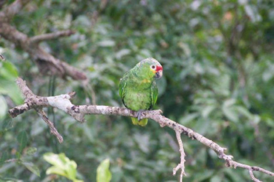 Las aves fueron confiscadas en 2014 en una comunidad de Dolores, Petén. (Foto: Francisco Asturias/Arcas)