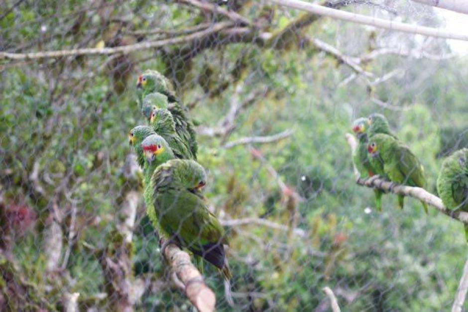 Varios loros recuperaron su libertad y vuelven a su hábitat en los bosques de Petén. (Foto: Francisco Asturias/Arcas)