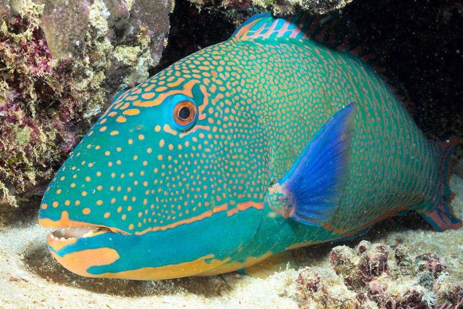 Este pez debe triturar los corales para alcanzar las algas que crecen entre las formaciones rocosas. (El Universal)