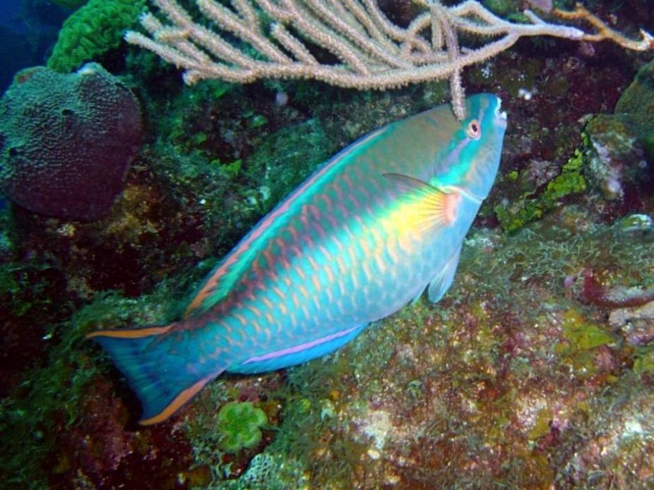 Este tipo de peces vive en aguas cálidas como en el océano Pacífico, Atlántico, Índico y el mar Rojo. (El Universal)