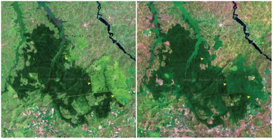 El Bosque de Mabira, Uganda. Noviembre de 2001 (izquierda) y enero de 2006 (derecha). (Foto: genial.guru.com)