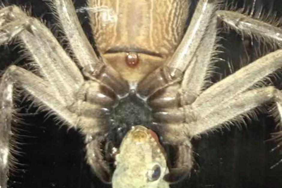 Una araña gigante se come a un geco. (Foto: Actualidad RT )