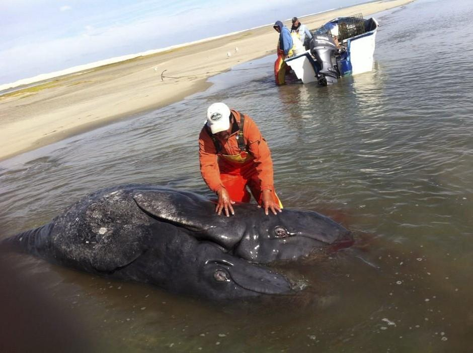 Vista de dos crías de ballena gris unidas por el vientre, que fueron halladas sin vida en la Laguna Ojo de Liebre, en el estado mexicano de Baja California Sur. Se trata del primer caso de ese fenómeno registrado en la región, según la Comisión Nacional de Áreas Naturales Protegidas (Conanp). (Jesús Gómez / EFE)