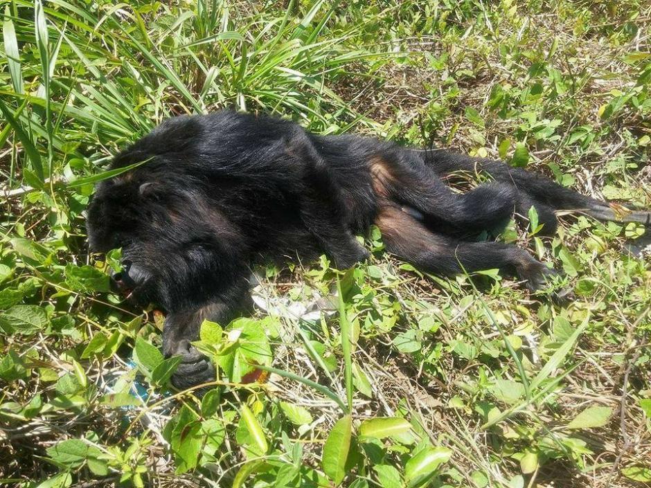 El saraguate fue llevado a la orilla de la carretera. (Foto: Fundaeco)