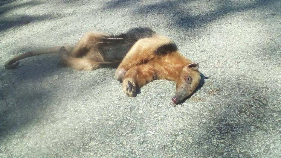 Sin embargo, el oso hormiguero quedó tendido en el asfalto. (Foto: Fundaeco)